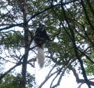 Svart og hvit Colubus ape!